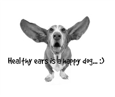 dog with healthy ears