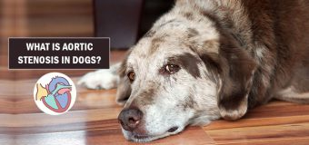 What Is Aortic Stenosis In Dogs?