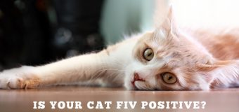 Is Your Cat FIV Positive? Feline Immunodeficiency Virus (FIV): Causes, Symptoms, And Treatment
