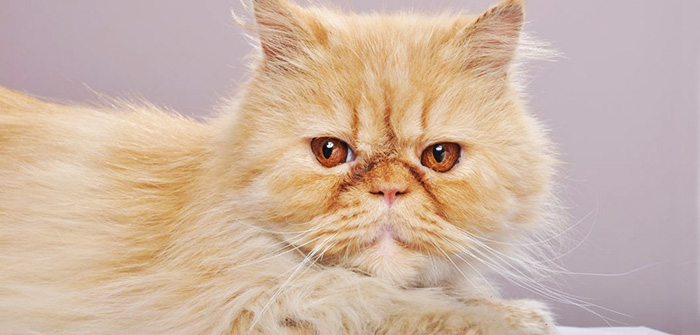 eye care treatment for cats
