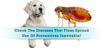 Check The Diseases That Fleas Spread- Use Of Preventives Inevitable!