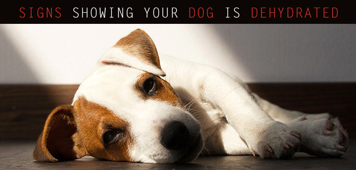 Dehydration In Your Dog