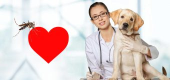 8 Facts About Heartworms in Dogs : Myths And Facts Of Heartworm Disease in Dogs