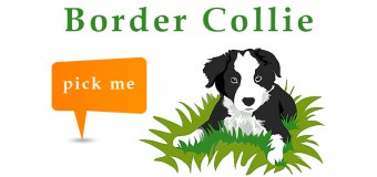 Why Should you Choose Border Collie as pet – Infographic