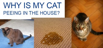 Find Out Why Your Cat Peeing In the House and How to Stop Her