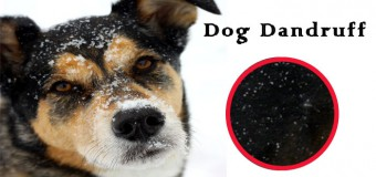 Dog Dandruff – Causes, Symptoms and Treatment