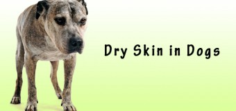 Top 10 Reasons for Dry Skin in Dogs
