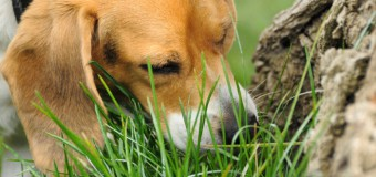 Is Your Dog Eating Grass? Find Here The Reasons!