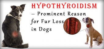 Hypothyroidism – Prominent Reason for Fur Loss in Dogs