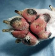 Paw Pad Injury In Dogs