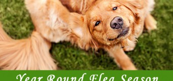 Year Round Flea Season – Does it Matter for Your Pets?