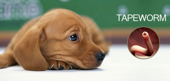 tapeworms-for-dogs